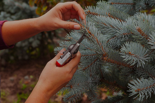 Tree being pruned with a FELCO® cutter or pruner from BrushKing® | Tree Shaping and Pruning Solutions Christmas Tree Knives